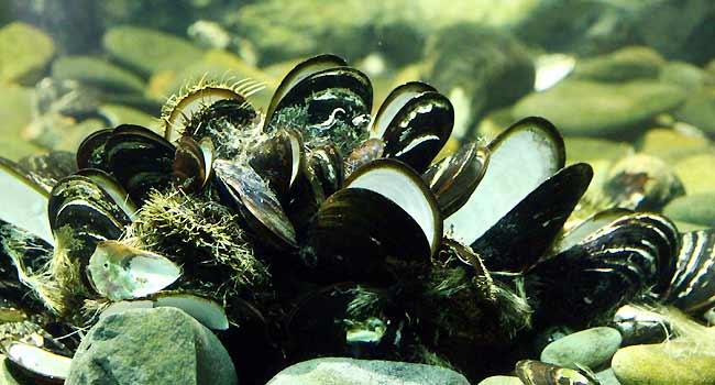 Freshwater Aquarium Shell Tip