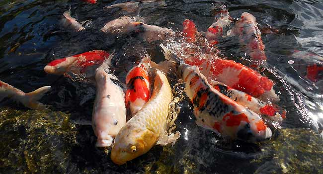 domestic fish ponds