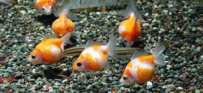 freshwater fish aquarium coldwater tank tip