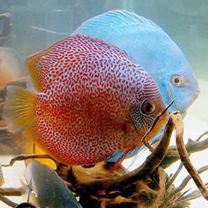 Discus Fish Guide