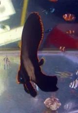 <b/>Pinnatus Batfish