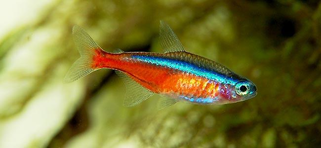 Tetra Fish Breeding