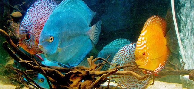 Tropical Discus Fish<