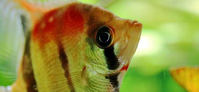 scalar fish tips