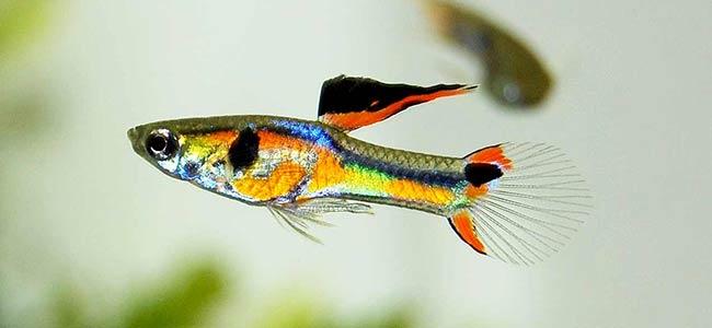 guppy fish tank ideas