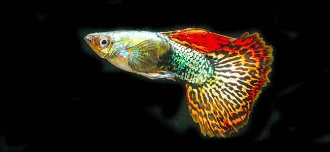 guppies fish aquarium