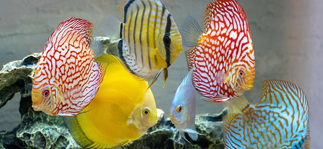tropical freshwater fish discus