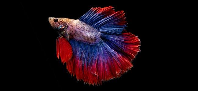 tropical freshwater fish siam betta
