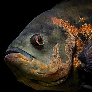 Oscar fish care breeding guide