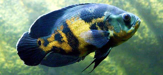Oscar fish care and breeding tip