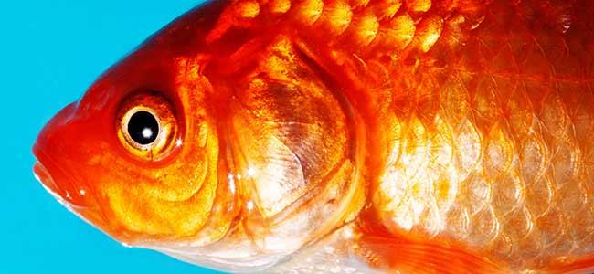 goldfish aquarium tanks