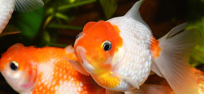 goldfish care idea